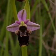0phrys fuciflora-Chauriat (63) 23/06/2009