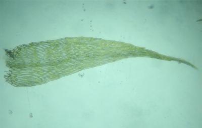 Amblystegium serpens (63-Forêt de Randan)