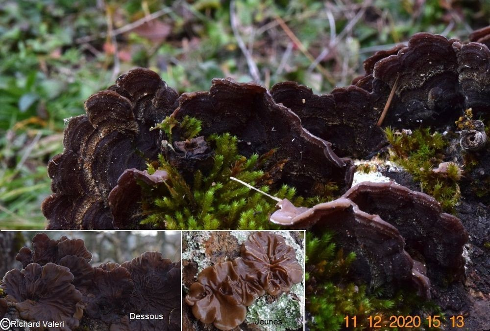 Auricularia mesenterica (Tremelles – Auriculariales)