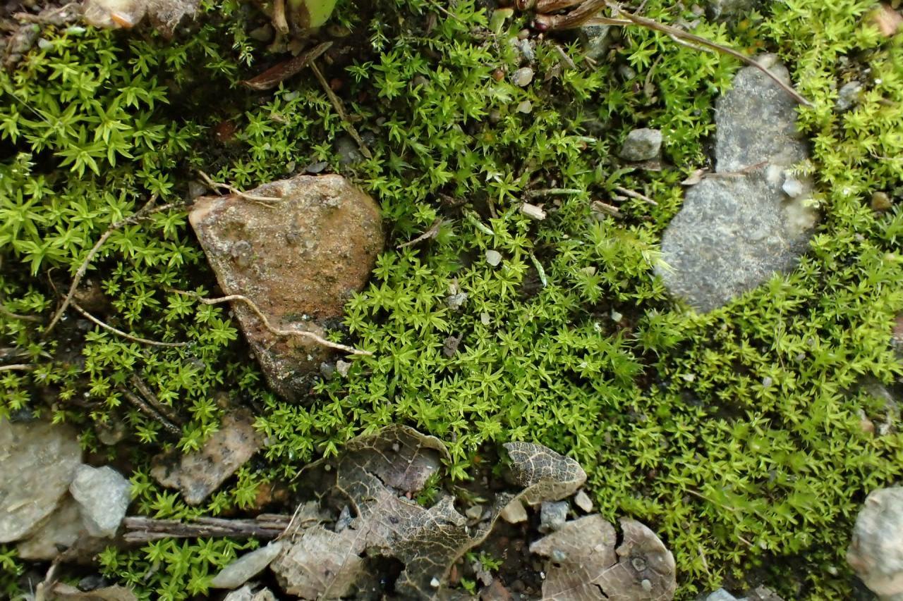 Barbula unguiculata (63-Forêt de Randan)
