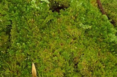 Blepharostoma trichophyllum (42-Col du Béal-Tourbière de la Pigne)