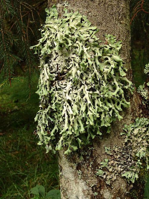 Parmelia submontana (63-St-Allyre-ès-Montagne)