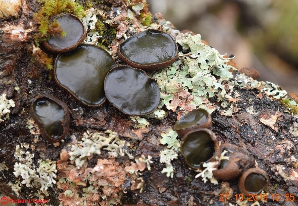 Bulgaria inquinans (Helotiales - Ascomycètes)