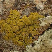 Candelariella coralliza (43-StJulien D'ance)
