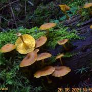 Chrysomphalina chrysophylla (Omphales - Tricholomatales)