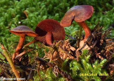 Cortinarius sanguineus (Cortinaires - Cortinariales)