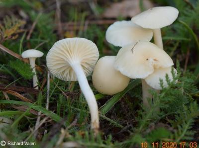 Cuphophyllus virgineus (Hygrophores - Tricholomatales)
