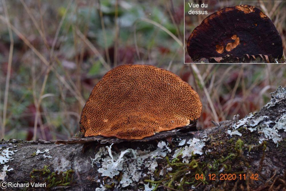 Daedaleopsis confragosa (Polypores – Polyporales)