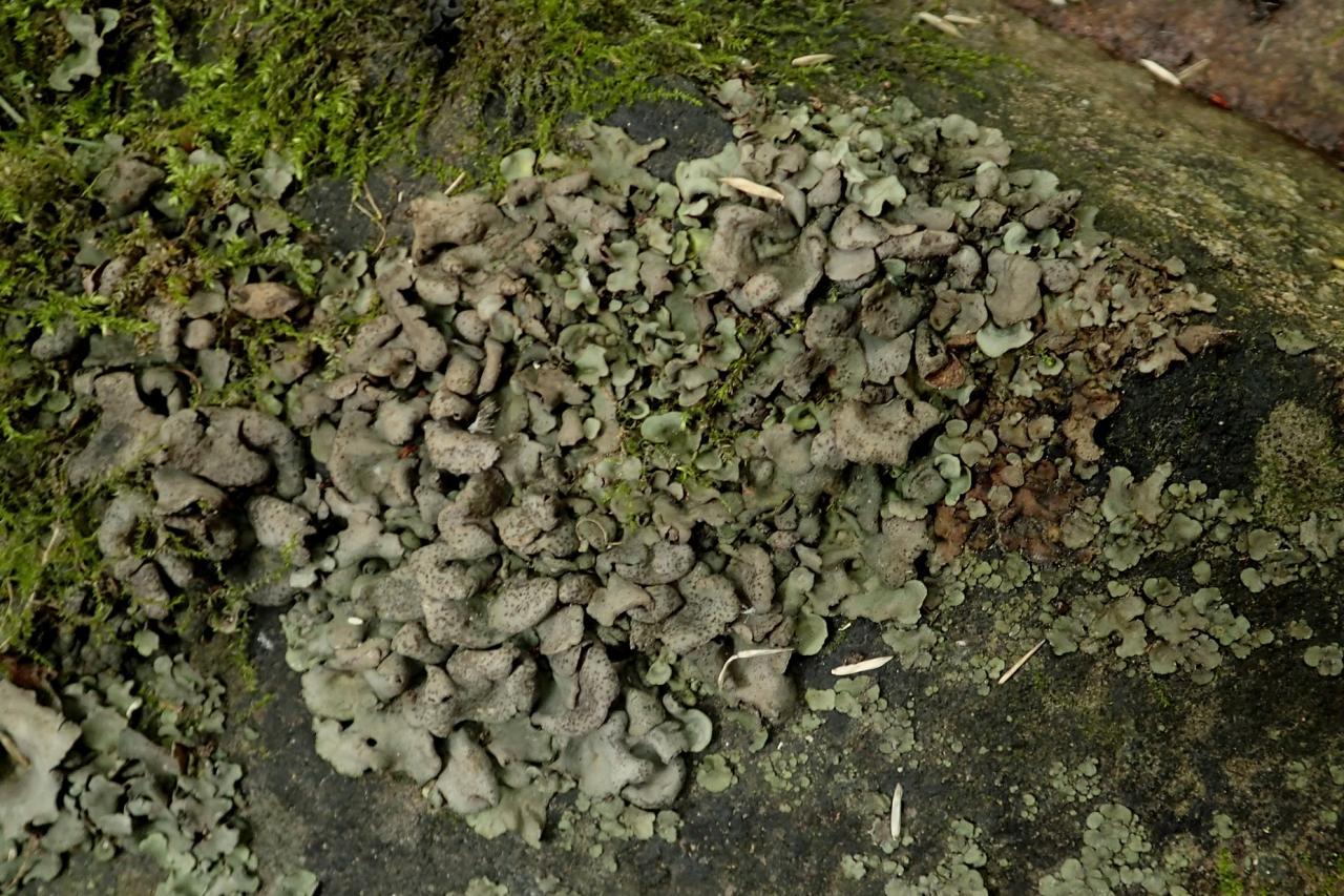 Dermatocarpon luridum (15-Pont-de-Coindre)