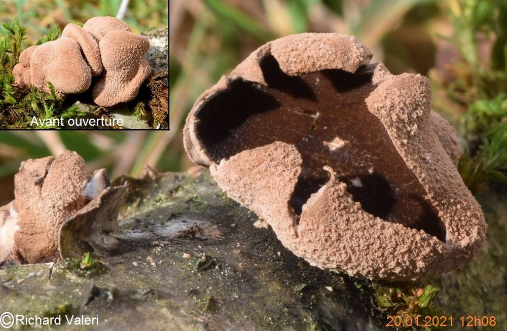 Encoelia furfuracea (Helotiales – Ascomycètes)