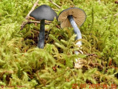 Entoloma nitidum (Entolomes - Entolomatales)