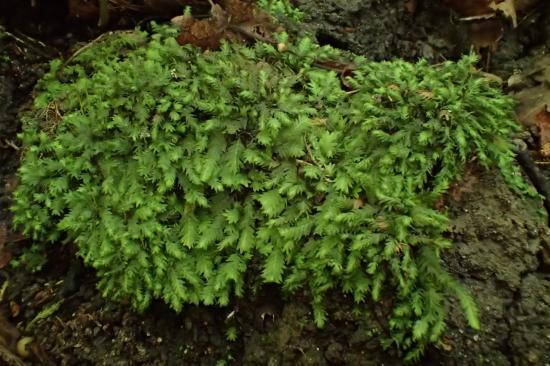 Fissidens taxifolius (63-Forêt de Randan)