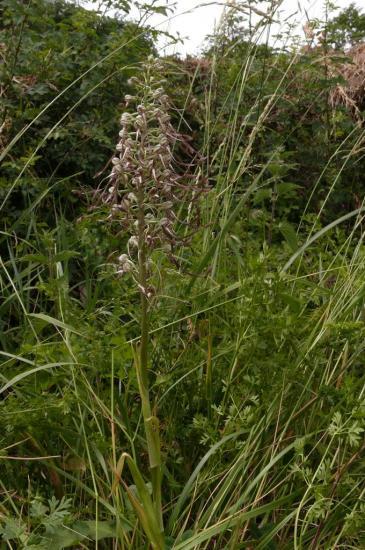 Himantoglossum hircinum Dauzat-63-20090607-4