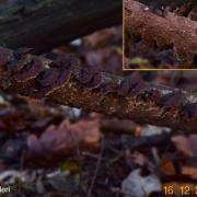 Hydnoporia tabacina (Croûtes – Hymenochaetales)