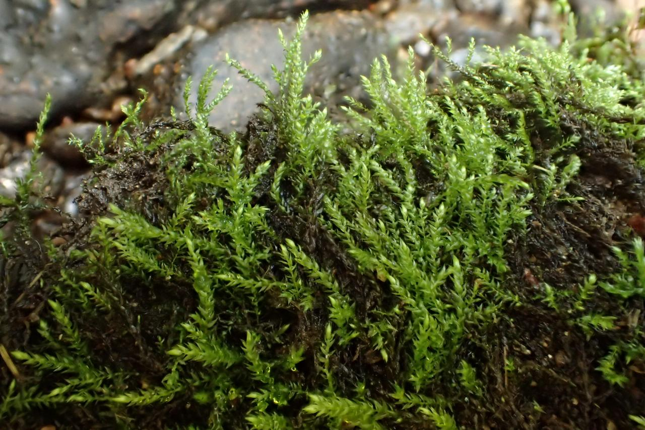 Hygroamblystegium fluviatile (63-St Alyre-Ste Elidie)