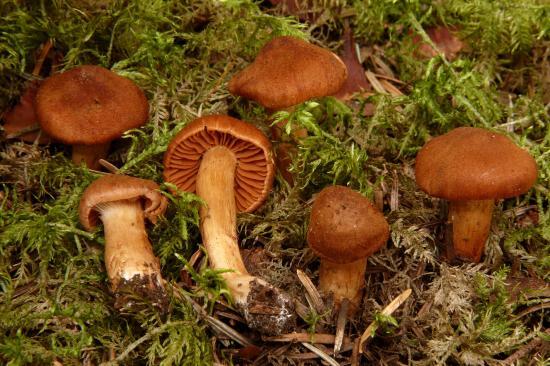 Cortinarius orellanus (Cortinaires - Cortinariales)