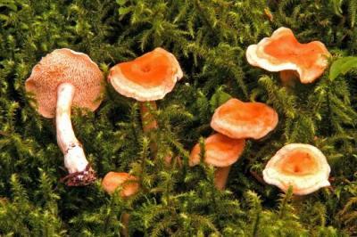 Hydnum umbilicatum (Hydnes - Aphyllophorales)