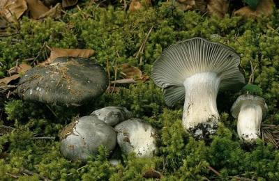 Hygrophorus marzuolus (Hygrophores - Tricholomatales)