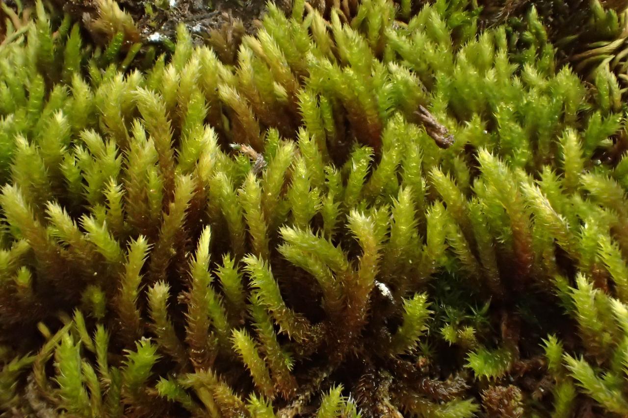 Leucodon sciuroides (63-Grottes de Jonas)