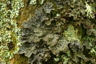 Lobarina scrobiculata (=Lobaria scrobiculata)