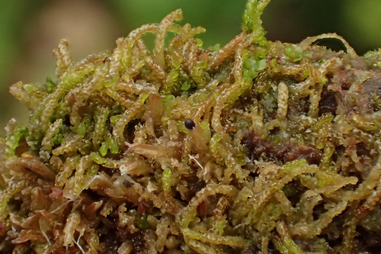 Nowellia curvifolia (63-Col du Béal)