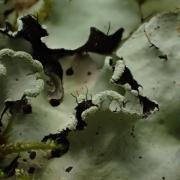 Parmotrema perlatum (03-Tronçais)