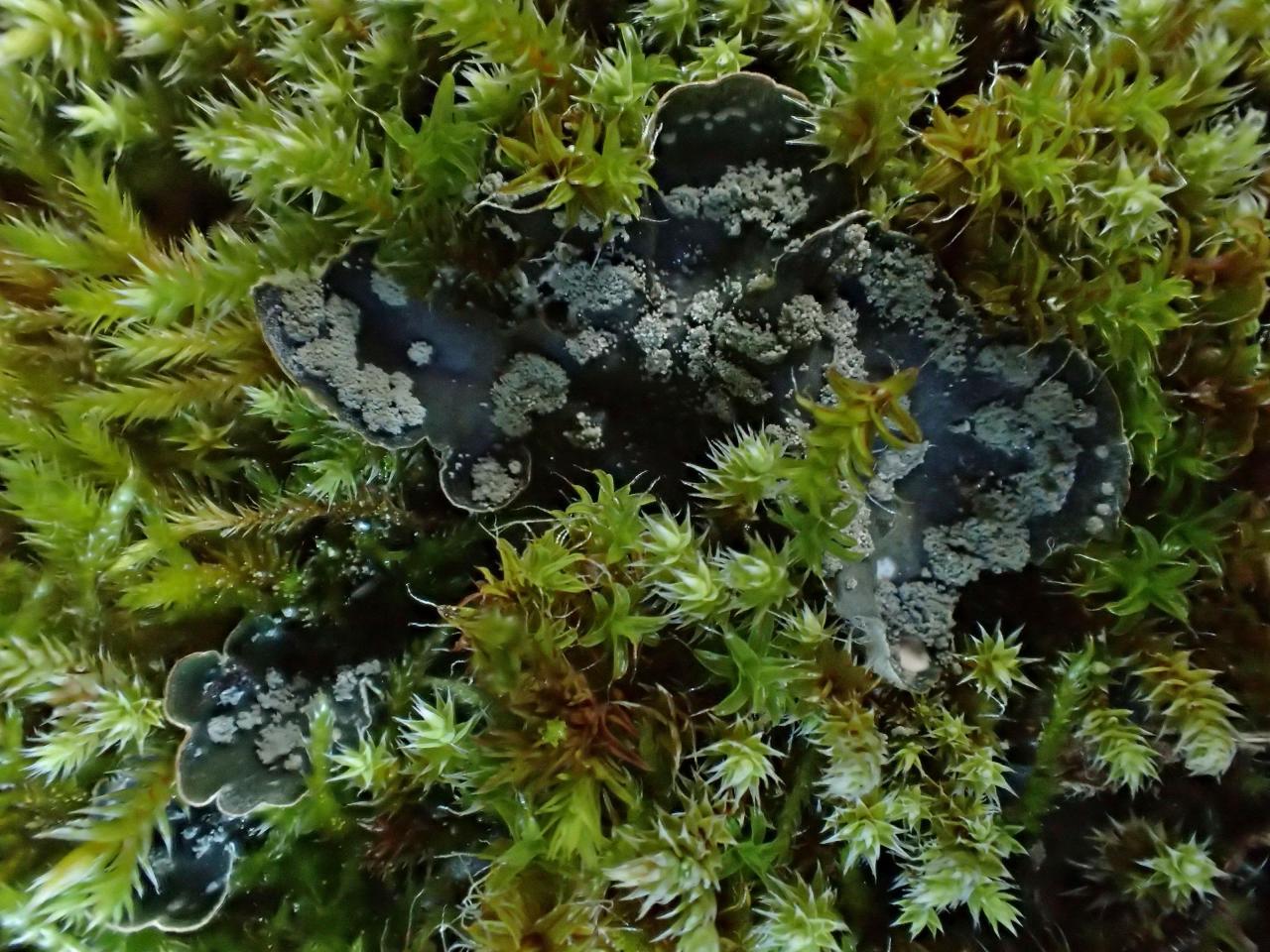Peltigera extenuata (63-Novacelles)