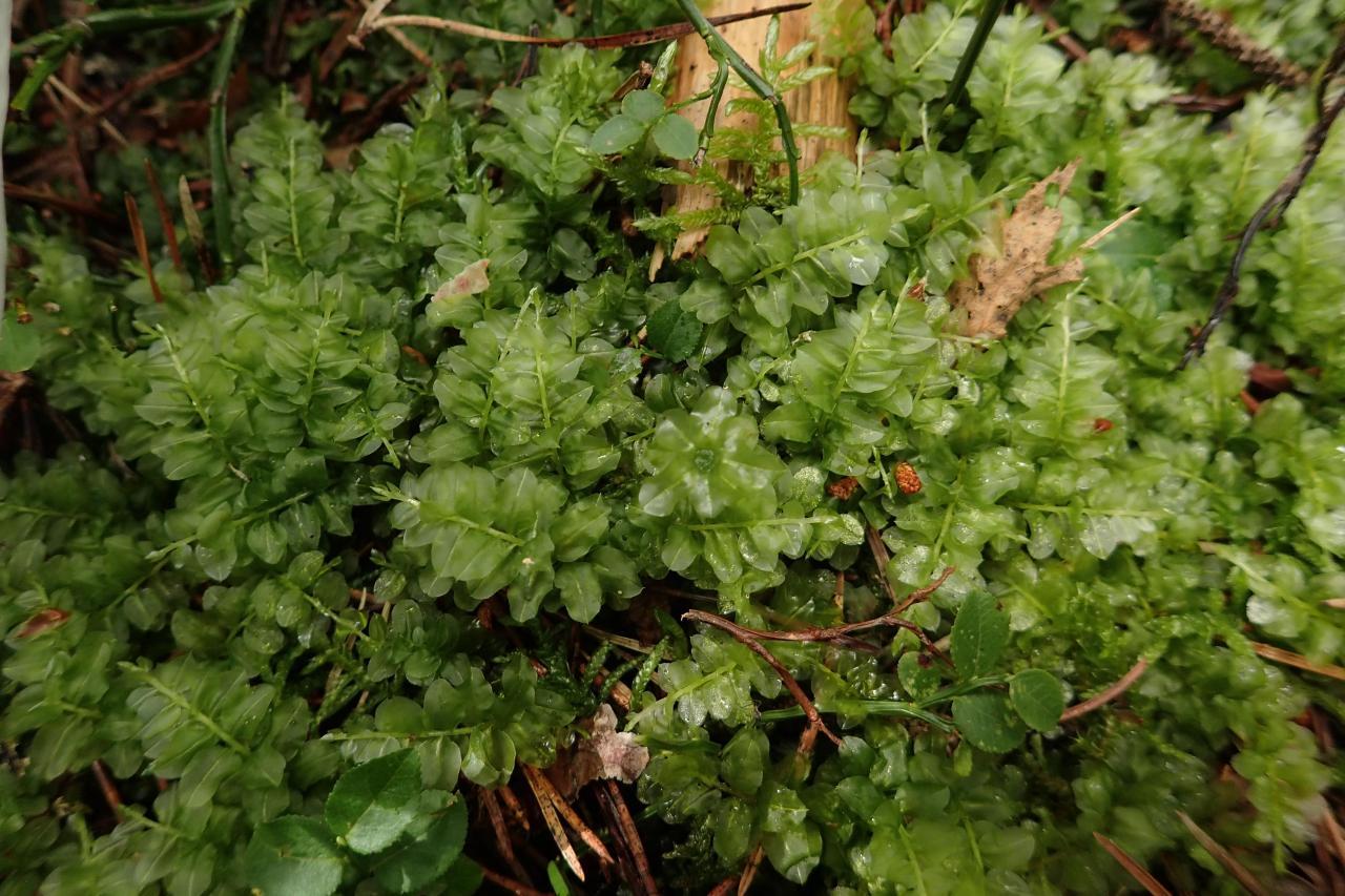 Plagiomnium ellipticum (42-Tourbière de Gimel)