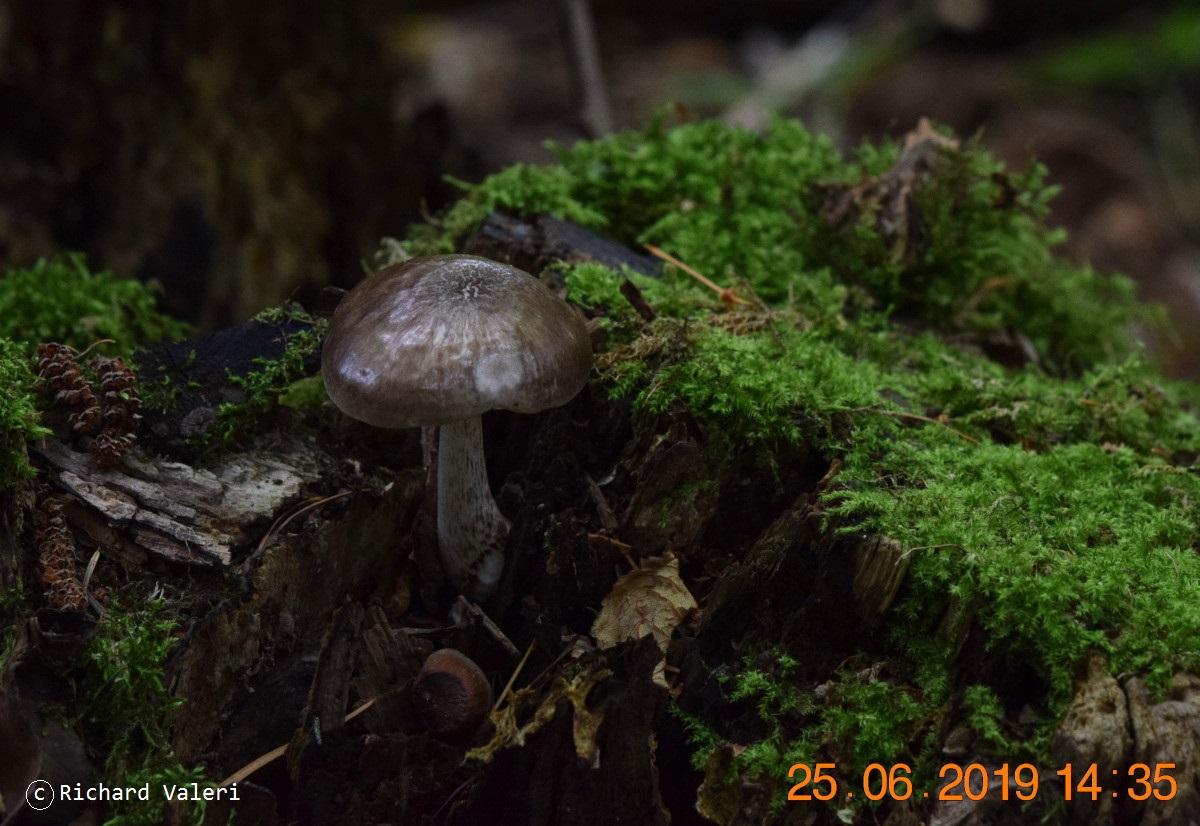 Pluteus cervinus (Plutées - Agaricales)