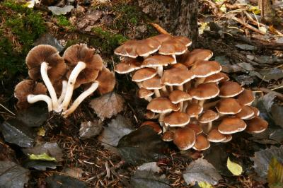 Psathyrella pilluliformis (Coprins - Agaricales)