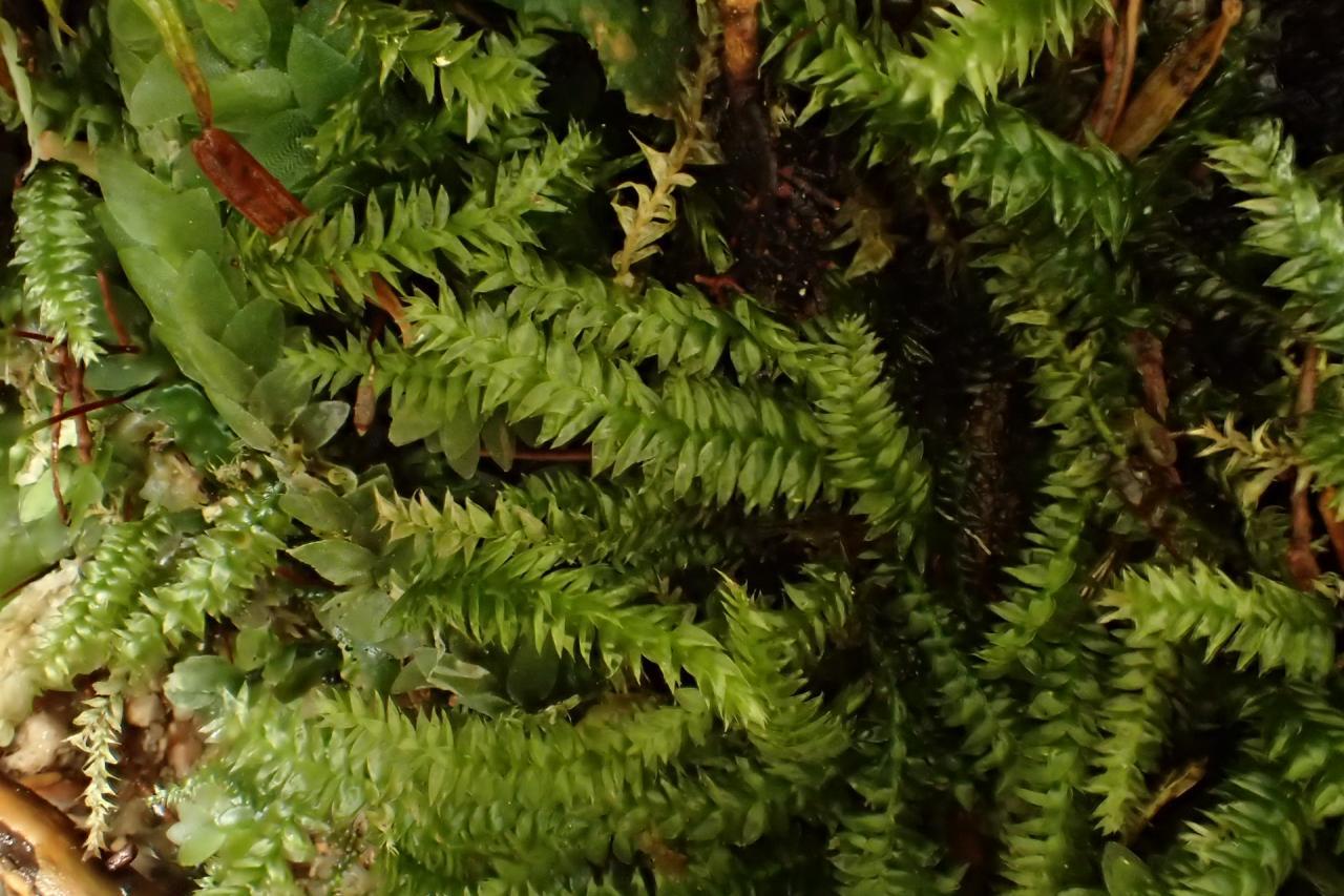 Pseudotaxiphyllum elegans (42-Col de la Charme)