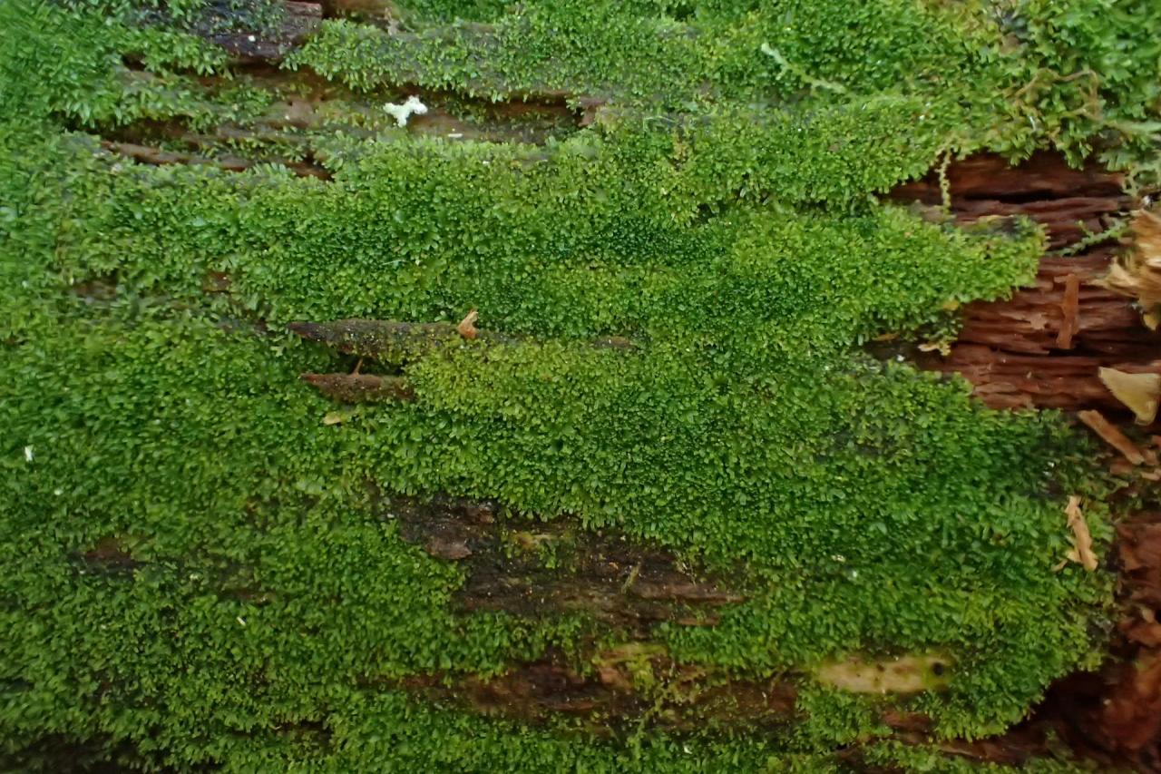 Riccardia latifrons (43-Lamandie-Cistrière)