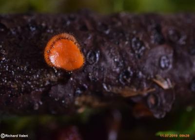 Scutellinia subhirtella (Pezizales – Ascomycètes)