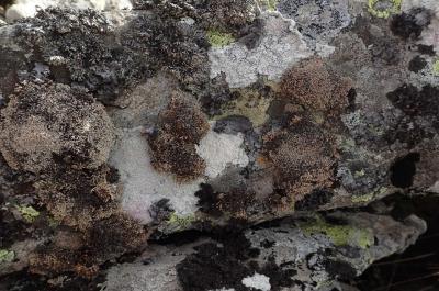 Sphaerophorus fragilis (15-Puy de LaTourte)