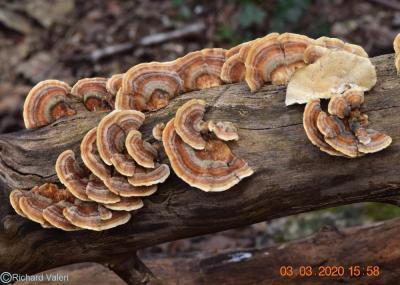 Trametes versicolor (Polypores – Polyporales)