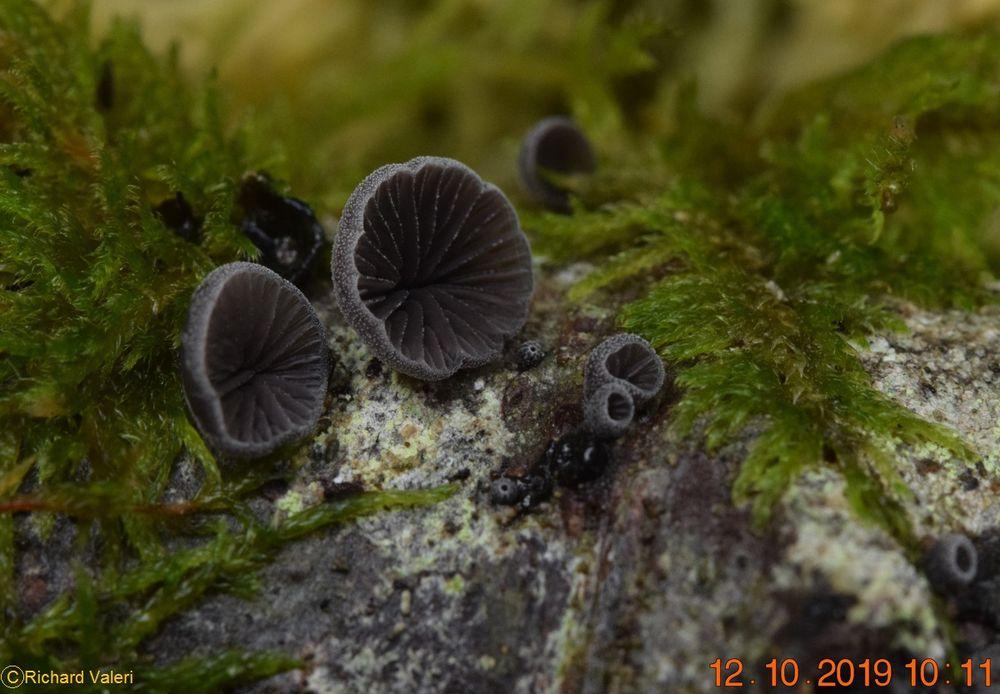 Resupinatus europaeus (Pleurotes - Agaricales)