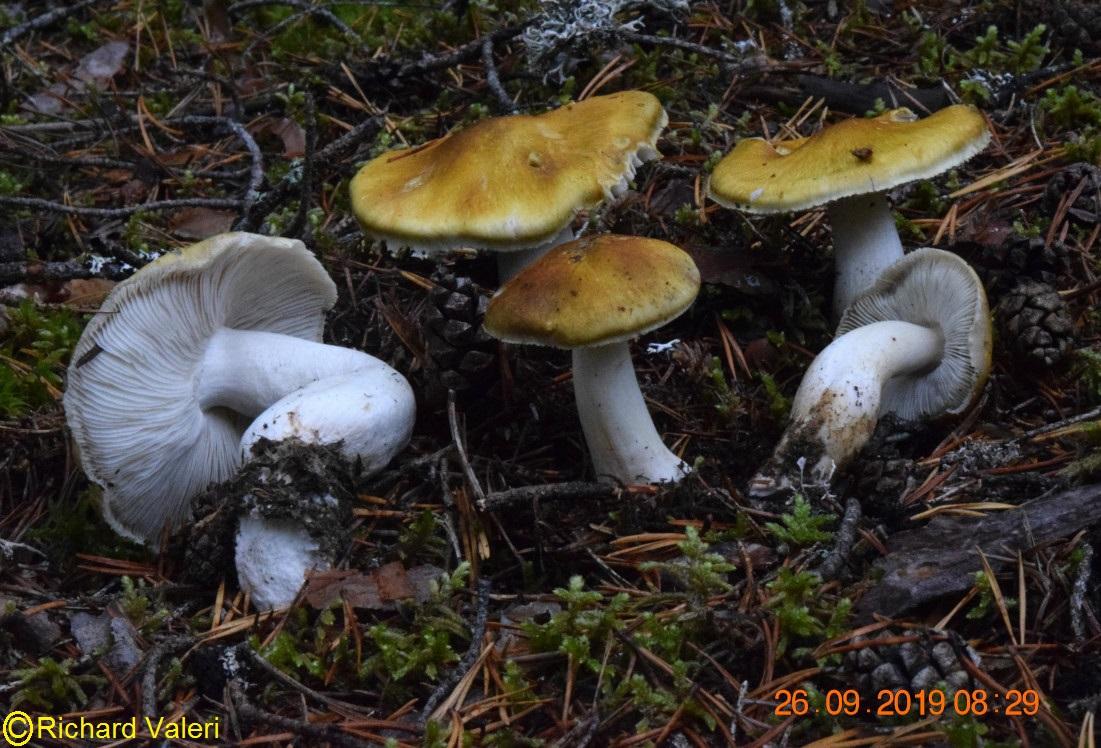 Tricholoma arvernense (Tricholomes - Tricholomatales)