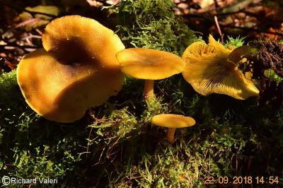 Tricholomopsis decora (Tricholomes – Tricholomatales)