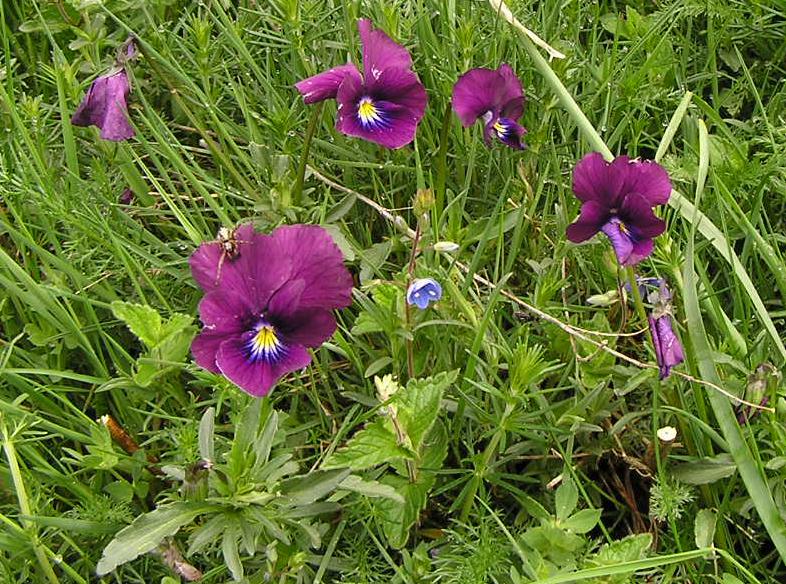 Viola lutea sudetica